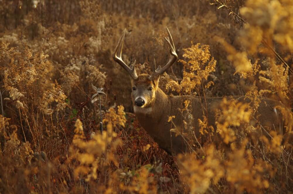 Buck at Prairie View in the Autumn by Brian Kabat