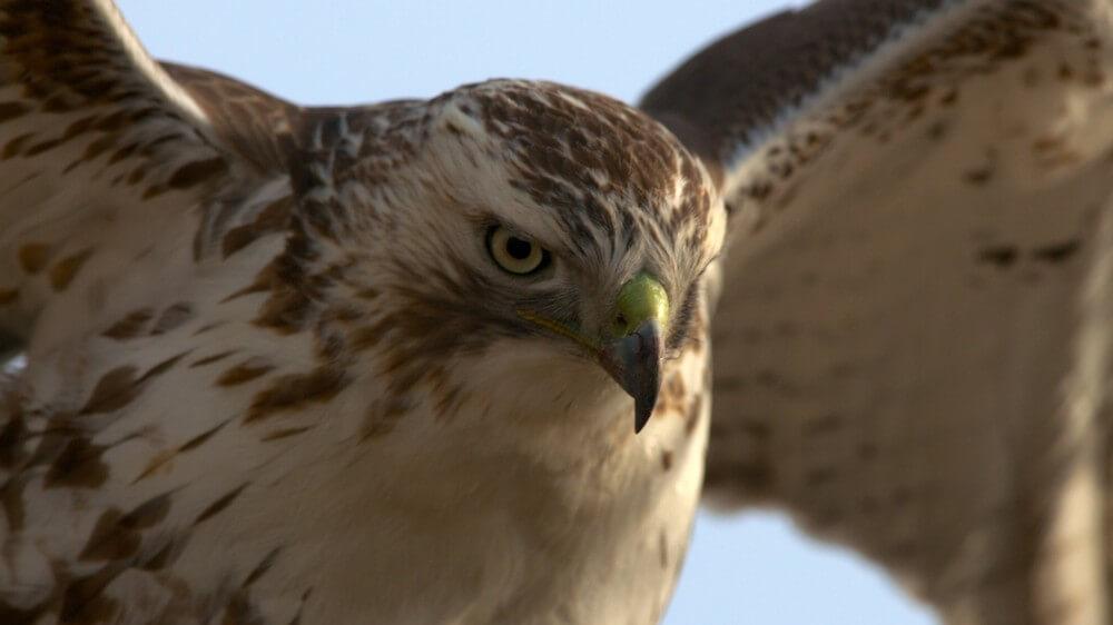 Hawk at the Glen by Brian Kabat