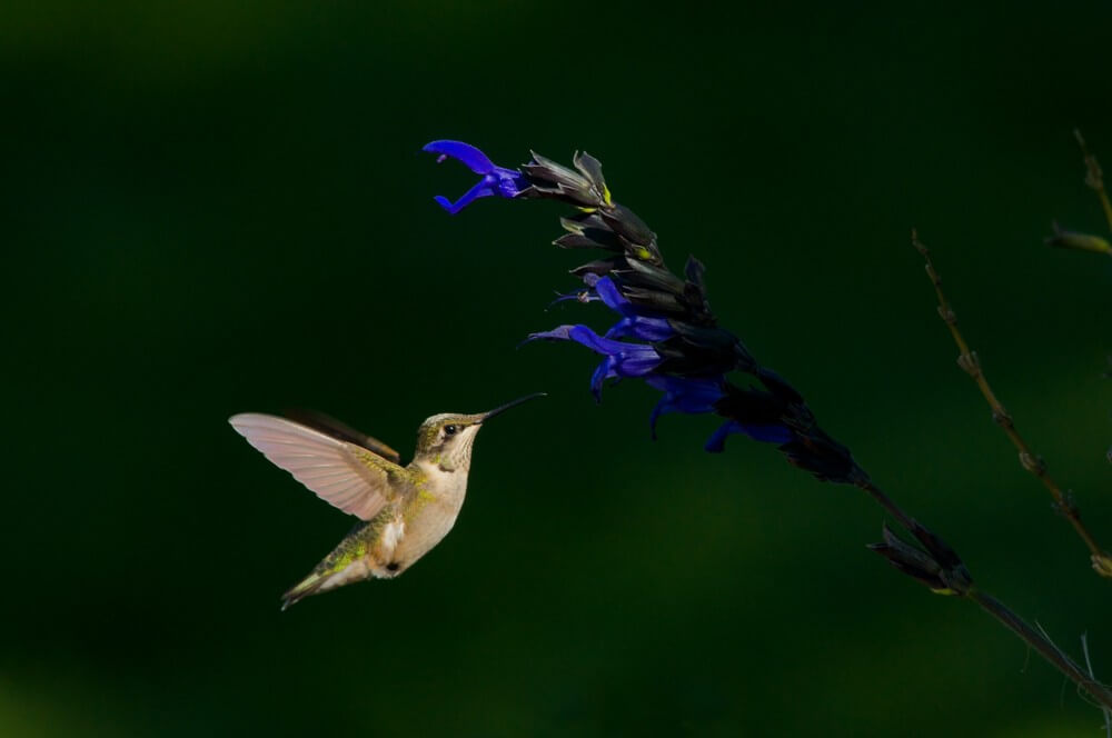 Hummingbird by Brian Kabat