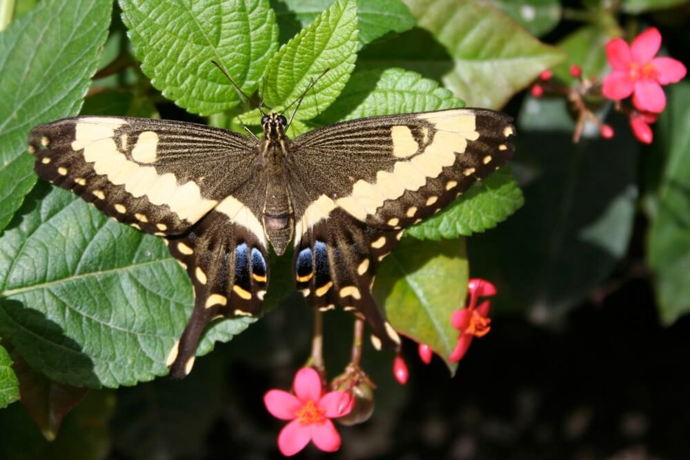 Orchard Swallowtail Butterfly bLori Indovina-Valus y