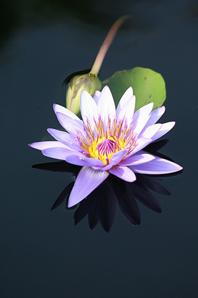 Water lily by Lori Indovina-Valus